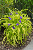 "TRADESCANTIA SWEET KATE SPIDERWORT - 4"" POT"
