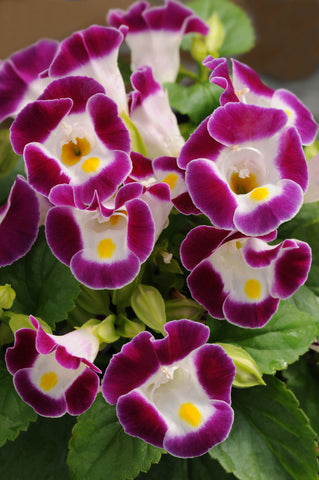 TORENIA KAUAI BURGUNDY - FLAT OF 48 PLANTS