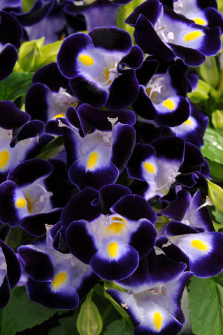 TORENIA KAUAI DEEP BLUE - FLAT OF 48 PLANTS