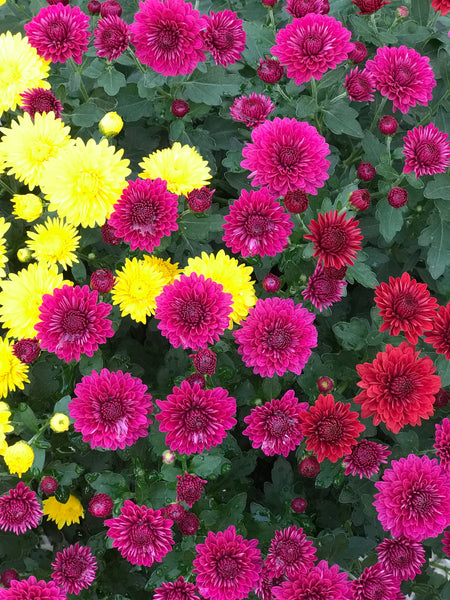 "GARDEN MUMS COMBO TRICK OR TREAT - 10"" STANDARD POT"