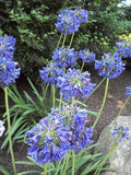 AGAPANTHUS AFRICANUS BLUE YONDER LILY OF THE NILE - 1 GALLON