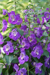 ANGELONIA ANGELFACE BLUE - 4'' POT