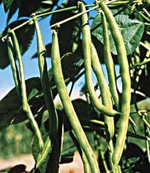 BEAN STRING KENTUCKY BLUE POLE - FLAT OF 32 PLANTS