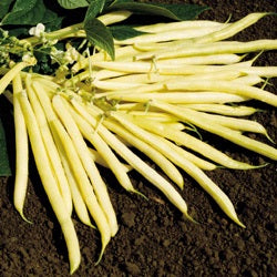 BEAN BUSH SUNGOLD - FLAT OF 32 PLANTS
