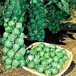 BRUSSELS SPROUT JADE 'E' - FLAT OF 32 PLANTS