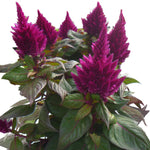 CELOSIA KELOS FIRE PURPLE - QUART POT