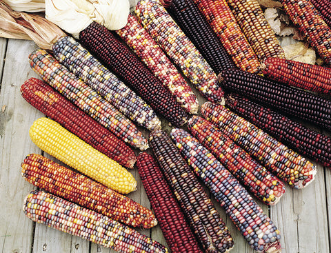 CORN INDIAN ORNAMENTAL - FLAT OF 32 PLANTS