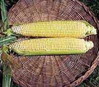 CORN JUBILEE - FLAT OF 32 PLANTS