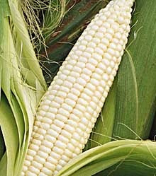 CORN SILVER QUEEN - FLAT OF 32 PLANTS