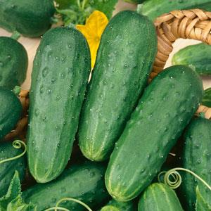 CUCUMBER PICKLING - FLAT OF 32 PLANTS