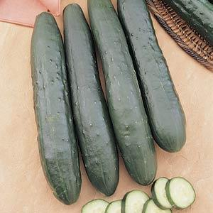 CUCUMBER SLICING BURPLESS SEEDLESS - FLAT OF 32 PLANTS