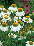 ECHINACEA POW WOW WHITE CONEFLOWER - 1 GALLON