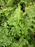 FERN - DRYOPTERIS PARSLEY MALE FERN - 1 GALLON