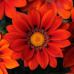 GAZANIA NEW DAY RED - JUMBO 6 PACK