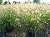 GRASS - PENNISETUM HAMELN AUSTRALIAN FOUNTAIN GRASS - 1 GALLON