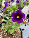 CALIBRACHOA SUPERBELLS GRAPE PUNCH - 4'' POT