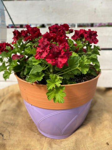 "GERANIUM MARTHA WASHINGTON ELEGANCE CLARET - 12"" POT"
