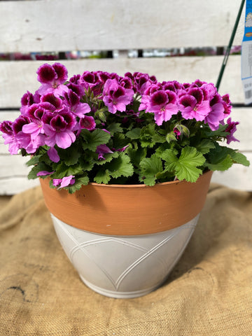 "GERANIUM MARTHA WASHINGTON ELEGANCE LILAC MAJESTY - 12"" POT"