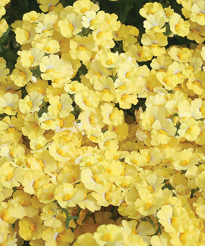NEMESIA SUNSATIA LEMON - 4'' POT