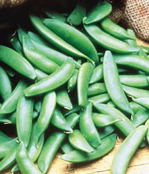 PEAS VINE SUGAR SNAP - FLAT OF 32 PLANTS