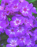 PHLOX GRAPE LOLLIPOP GARDEN PHLOX - 1 GALLON