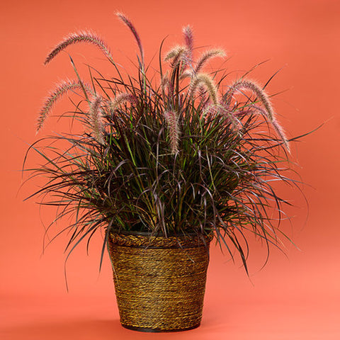 "Fountain Grass Purple - 8"" Pot"