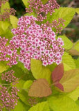 SPIRAEA JAPONICA DOUBLE PLAY BIG BANG SPIRAEA - 3 GALLON