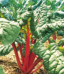 SWISS CHARD RHUBARB - FLAT OF 32 PLANTS
