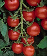 TOMATO RED CHERRY LARGE - 4'' POT