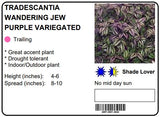 "TRADESCANTIA WANDERING JEW PURPLE VARIEGATED - 10"" HANGING BASKET"