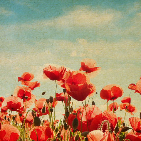 ohpopsi Poppies 56x56cm Box Framed Canvas Wall Art