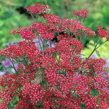 Achillea Plants For Sale
