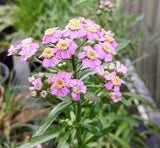 Achillea 'Love Parade' Plants