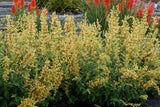 Agastache 'Kudos™ Yellow'