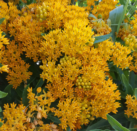 Asclepsias tuberosa - Butterfly Weed Plants