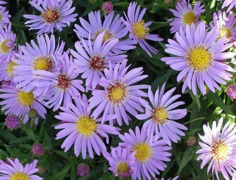 Aster 'Wood's Light Blue' Plant - Streambank Gardens