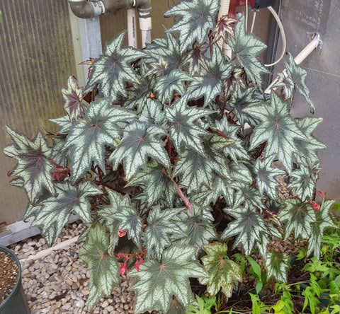 Begonia 'Little Brother Montgomery' Plants