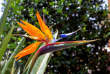 Bird of Paradise Plant - Kenya Gather® Plant