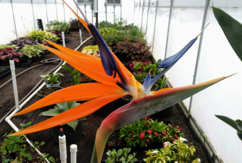 Bird of Paradise - 1 Plant - Kenya Gather® Plant