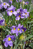 Lucerne Blue-Eyed Grass Plants