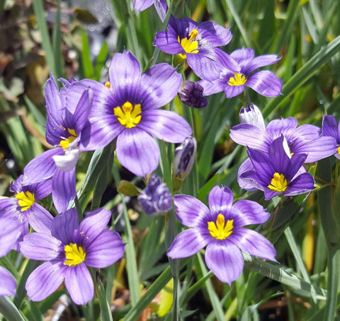 Lucerne Blue-eyed Grass (Sisyrinchium angustifolium) Plants