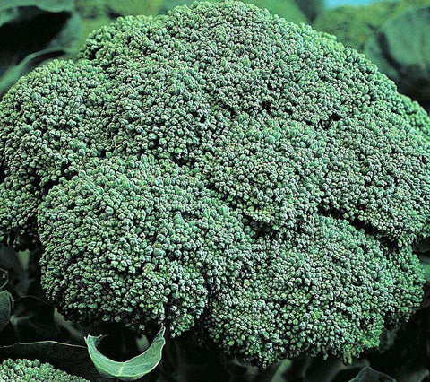Broccoli 'BelStar F1' - 6 Plants - Streambank Gardens