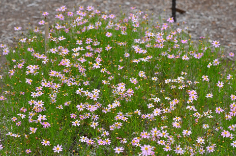 Coreopsis rosea 'American Dream' - 1 Plant