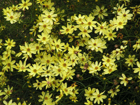 Coreopsis 'Moonbeam' Plant - Streambank Gardens  - 2
