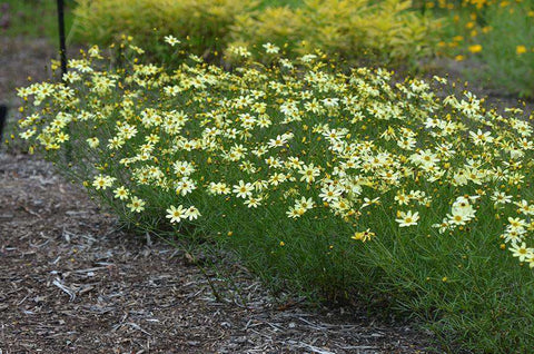 Coreopsis 'Moonbeam' Plant - Streambank Gardens  - 1