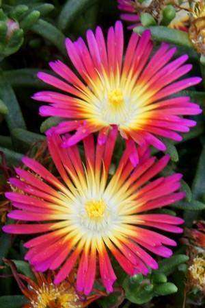Delosperma Wheels of Wonder™ 'Hot Pink' - Streambank Gardens  - 1