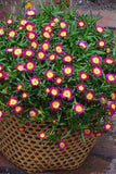 Delosperma Wheels of Wonder™ 'Hot Pink' - Streambank Gardens  - 2