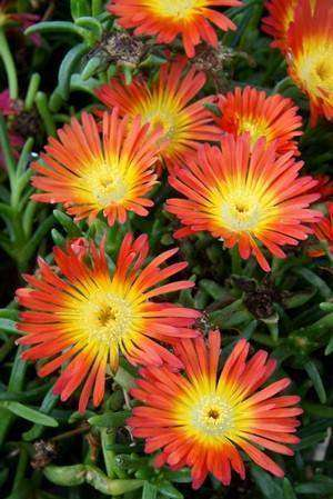 Delosperma Wheels of Wonder™ 'Fire Wonder' - 1 Plant - Kenya Gather® Plant