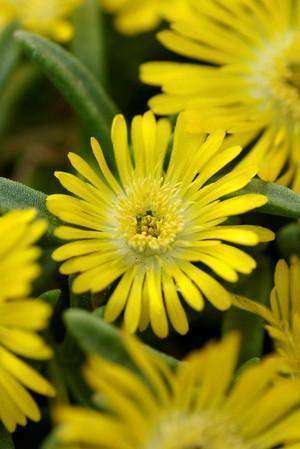 Delosperma Wheels of Wonder™ 'Golden Wonder' - 1 Plant - Kenya Gather® Plant