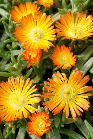 Delosperma Wheels of Wonder™ 'Orange Wonder'